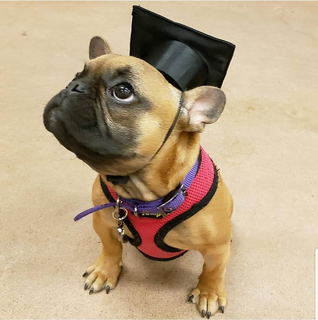 If you can dream it, you can chew it! Congratulations to @lucygholombe #pawleepet #petboox #Graduationday* #PuppyEducation #puppiesofinstagram#puppielove#frenchie#frenchbulldog #pet #petlover #doglover