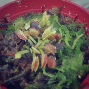 #Dionaea #PlantaCarnivora #GabrielaFilomena #AdiosMoscas #AdiosZombies ??????